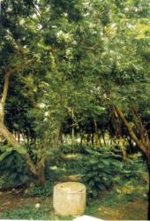 ニーム(インドセンダン)の木
